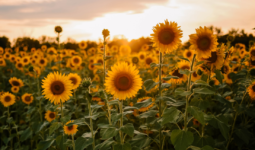 Tanzania's-Sunflower-Sector-is-Paving-the-Way-or-Future-Industrialization-and-Sustainable-Growth